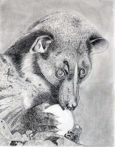 Dibujo de Coati